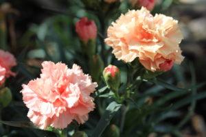 Dinamic Apricot®